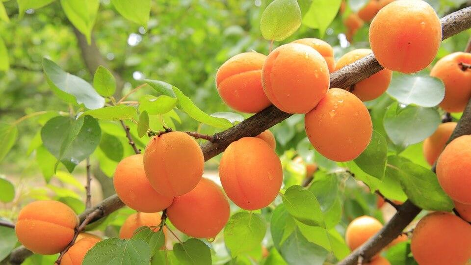 абрикос пюре для детей